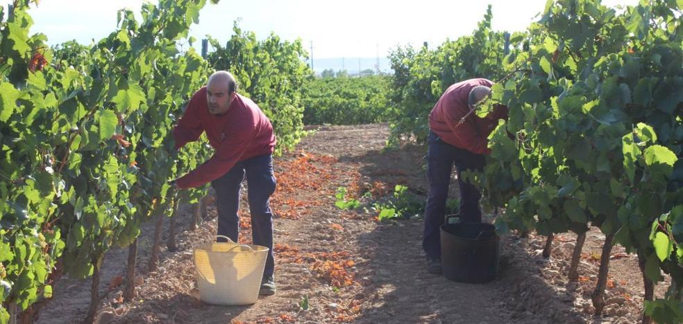 La vendimia arranca en Rioja... ¡el 10 de agosto!