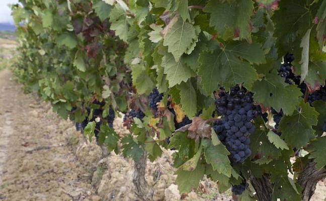 La vendimia en Rioja Alavesa podría adelantarse al 18 de septiembre