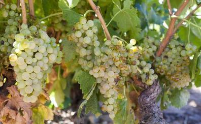 Las uvas blancas presentan sanidad «excepcional» y «buena acidez»