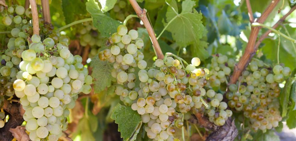 Las uvas blancas presentan sanidad «excepcional» y «buena acidez» en uvas blancas