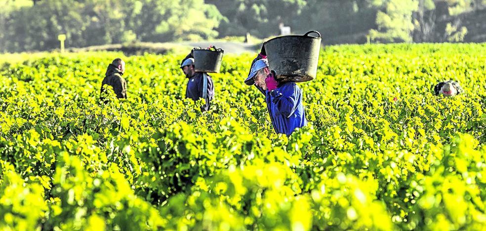 Rioja 'salva' la campaña en cantidad y calidad con 311 millones de kilos ya en las bodegas