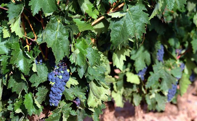 La preocupante sequía en la DOCa Rioja