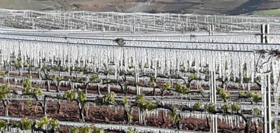 La vendimia por pueblos sitúa en el entorno de Haro el mayor daño por la helada del 2017