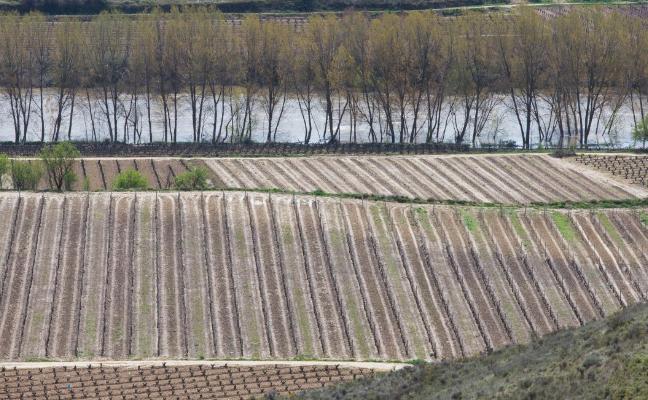 El Consejo Regulador calificará hoy de 'Muy buena' la cosecha del 2017