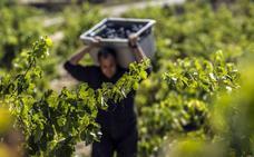 La cosecha de Rioja 2017, calificada como 'Muy buena'