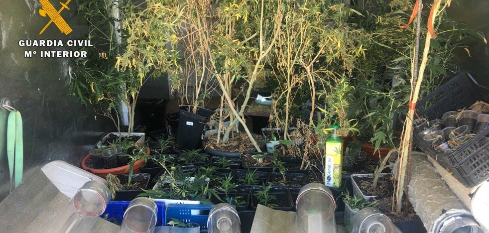 Descubiertas 127 plantas de marihuana en una vivienda de Entrena