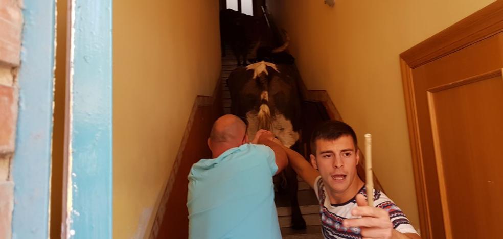 La vaca, hasta la cocina en el encierro de Alfaro