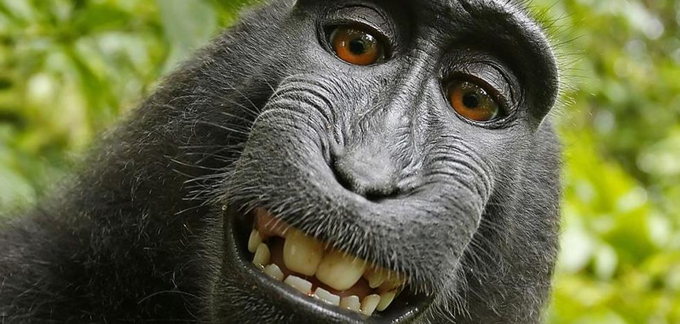 Un tribunal de EE UU atribuye al fotógrafo los derechos del 'selfie del mono'