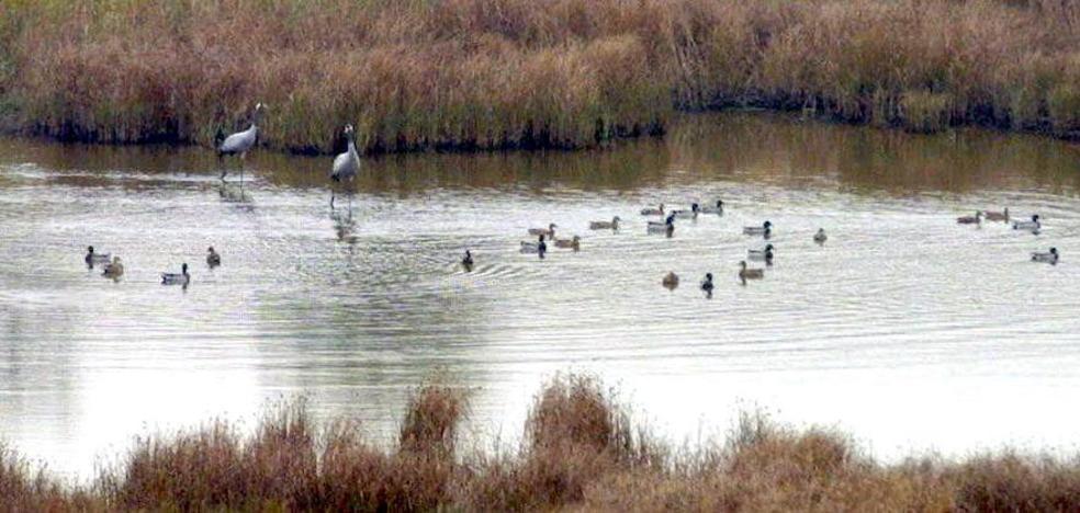 Medio Ambiente organiza el sábado una observación de aves en la Laguna de Hervías