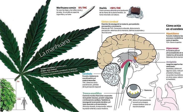 La marihuana: cómo actúa en el cerebro