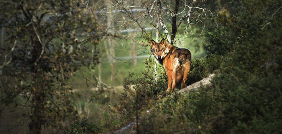 Amigos de la Tierra quiere realizar un documental sobre el lobo ibérico en La Rioja y Álava
