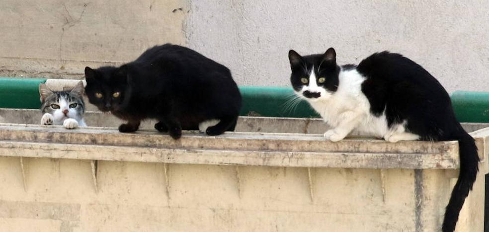 Cambia Logroño propone la captura, esterilización y suelta de los gatos urbanos