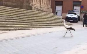 El tranquilo paseo de la cigüeña por Alfaro