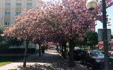 El espectáculo de los cerezos de Lope Toledo