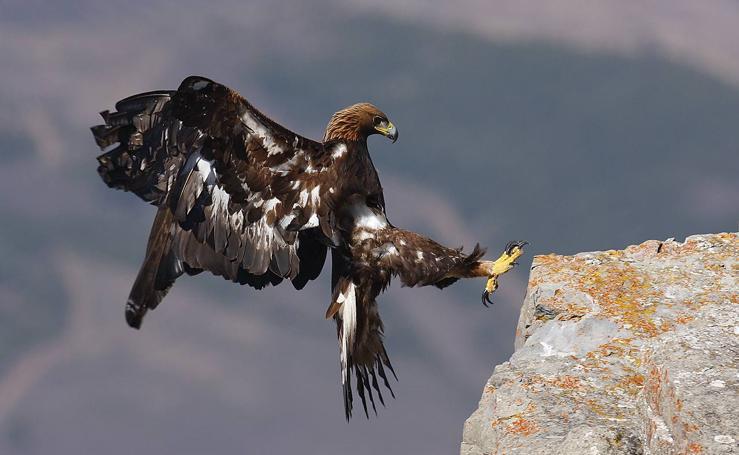 La imagen de un águila real gana el Concurso Fotográfico de Medio Ambiente