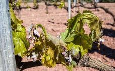 DOCa Rioja confía en una «buena recuperación del viñedo» tras la helada