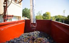 La vendimia en Rioja llega a su recta final con una calidad de uva excelente