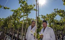 Identifican la mutación que permite eliminar las pepitas de cualquier uva