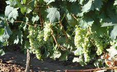 Comienza la vendimia en Rioja con viñedo sano y expectativas de calidad