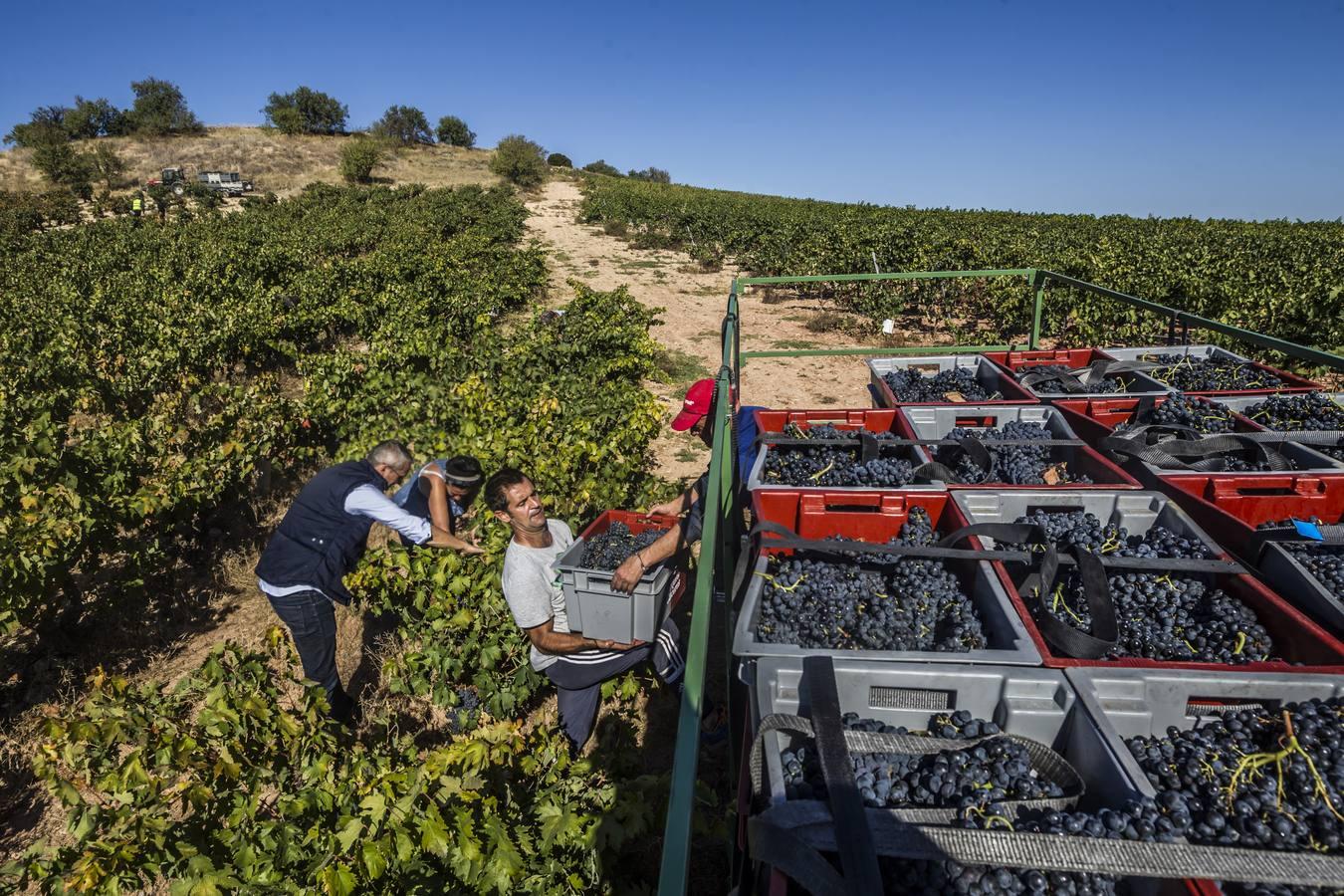 La vendimia se generaliza con 215 millones de kilos de uva ya en las bodegas