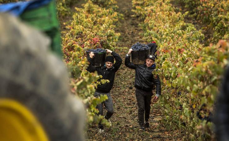 Últimos racimos al cesto en La Rioja
