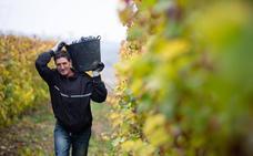 Rioja acaba la segunda vendimia más amplia, con 486 millones de kilos