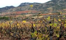 La UAGR exige paralizar, «porque es fundamental», la liberalización de viñedo del 2030