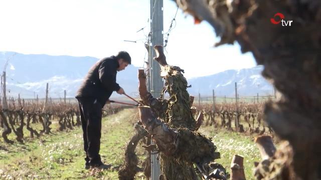¿Cómo influye la poda en el desarrollo del viñedo?