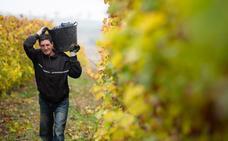 El Consejo Regulador califica este viernes como 'buena' la cosecha de Rioja del 2018