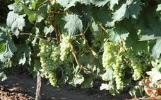 El cambio climático es realidad para el 90% de vitivinicultores