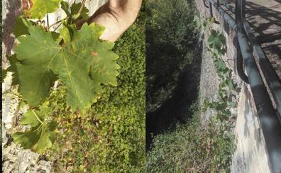 Hallan una vid de la singular variedad Legiruela en el Monasterio de Valvanera