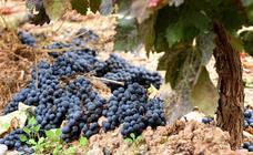¿Qué piensan los viticultores de los nuevos rendimientos de Rioja?