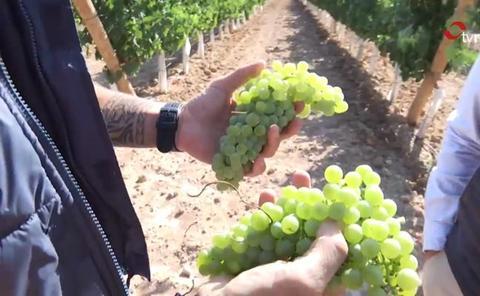 Rioja, camino de una gran añada gracias al «excepcional estado sanitario» del viñedo
