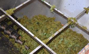 Comienza la vendimia de uva blanca en Aldeanueva