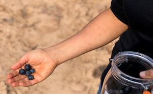 Normalidad este año en una vendimia con la entrada de uva muy escalonada