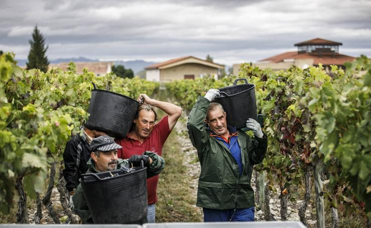 La vendimia, a punto de terminar en Rioja