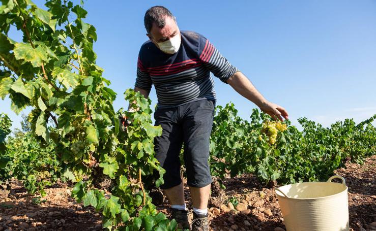 Así avanza la vendimia en la DOCa Rioja