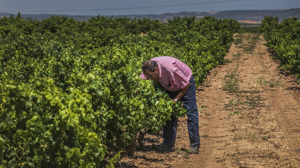 La cosecha avanza tras superar momentos críticos y con producción, aunque limitada