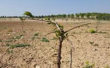 Los agricultores del Alhama-Linares denuncian el daño de los corzos