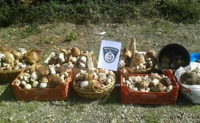 Decomisados en La Rioja más de 100 kilos de hongos recogidos de forma ilegal