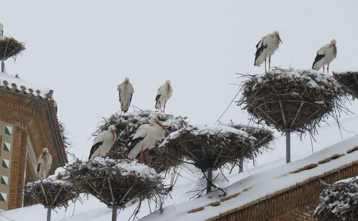 Cigüeñas bajo la nieve en Alfaro