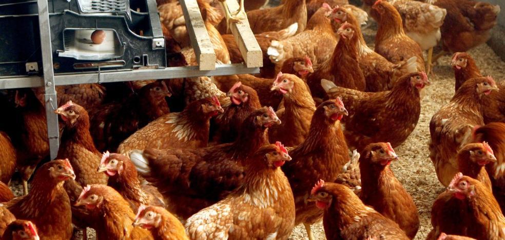 ¿Queremos gallinas libres?