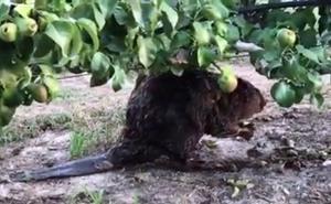 Un castor 'comeperas' en Alfaro