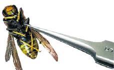 La picadura de la avispa asiática no aumenta el riesgo