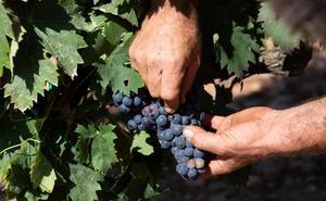 La Rioja Baja comenzará la vendimia de uva blanca durante la última semana de agosto