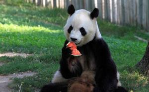 China abrirá su primer parque nacional de osos panda gigante