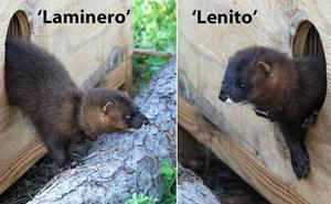 Soltados en La Rioja dos ejemplares de visón europeo criados en cautividad