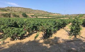 Daños en las viñas en Entrena, Azofra y Hormilla