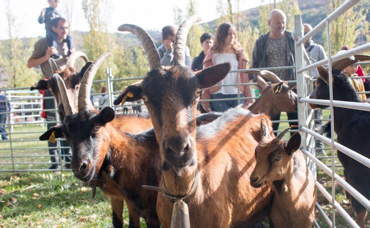Feria de ganado de Ojacastro