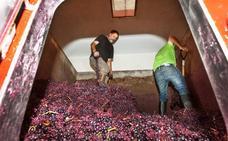 Rioja confirma el cosechón con 454 millonesde kilos ya en bodega y la vendimia aún activa